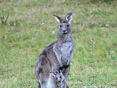 kangaroo-with-joey