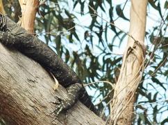goanna-in-a-tree