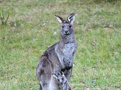 kangaroo-with-joey
